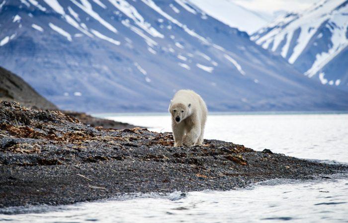 Arctic_Svalbard_©ReeveJolliffeEYOS©_{hanseExplorer}_wildlife()____20190630_025156_750_[7360x4912]_9.8MB